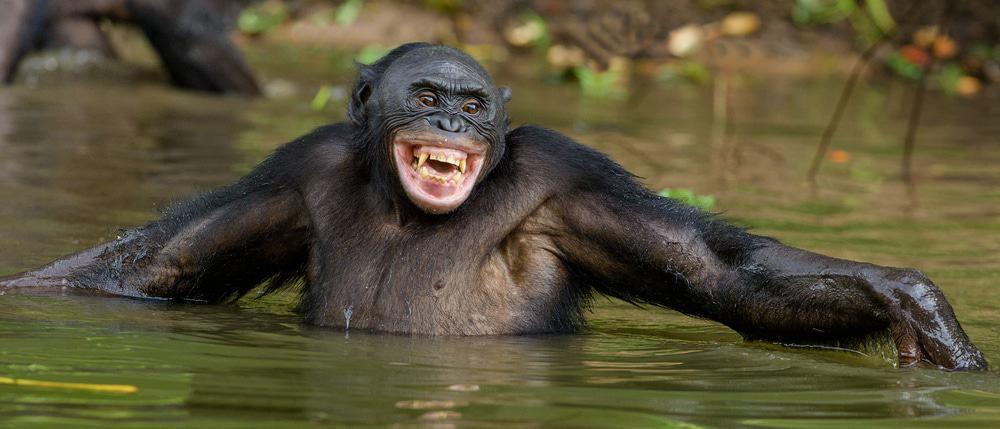 """Imagem mostra um bonobo, um primata próximo dos chimpanzés, que entendem sinais como """"oi"""" e """"tchau"""" e os praticam em interações sociais, segundo novo estudo"""