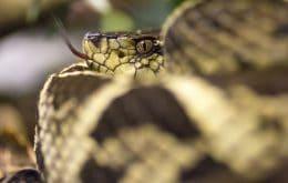 Veneno de cobra brasileira tem molécula que inibe o vírus da Covid-19 em 75%