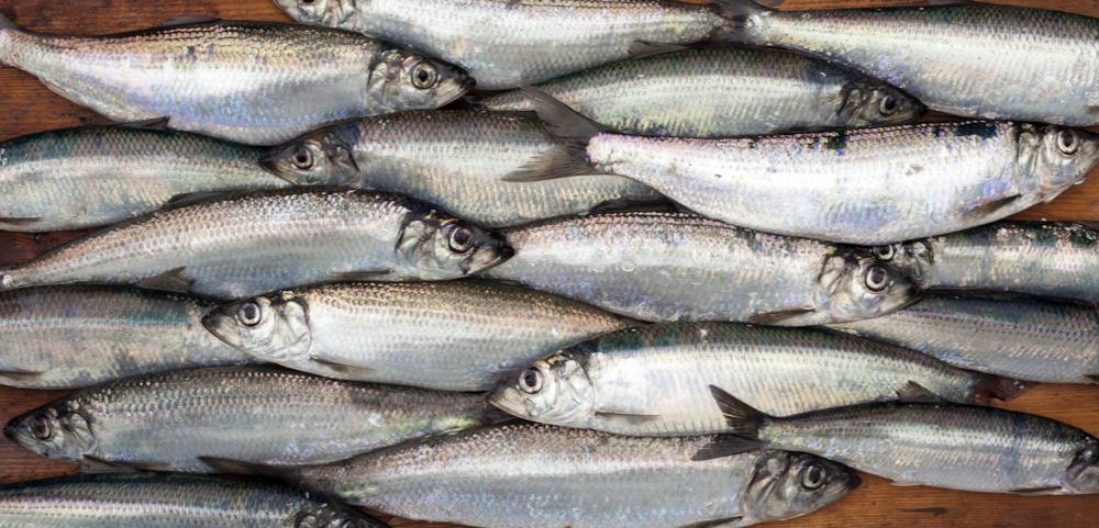 Foto mostra vários areques dispostos em uma mesa: aquecimento global está afetando a sobrevivência de espécies comuns de peixes, o que pode atrapalhar nossa segurança alimentar