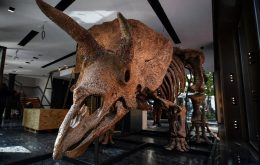 O maior fóssil de triceratops já encontrado está à venda