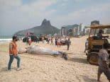 Baleia jubarte é encontrada morta em praia no Leblon