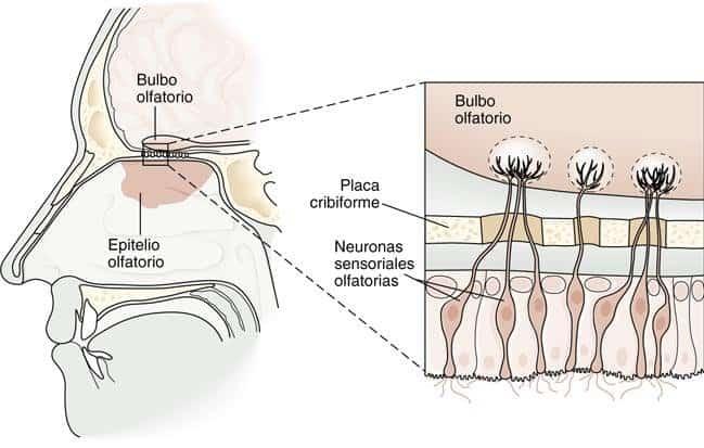 Ilustração mostra a estrutura de um nariz humano