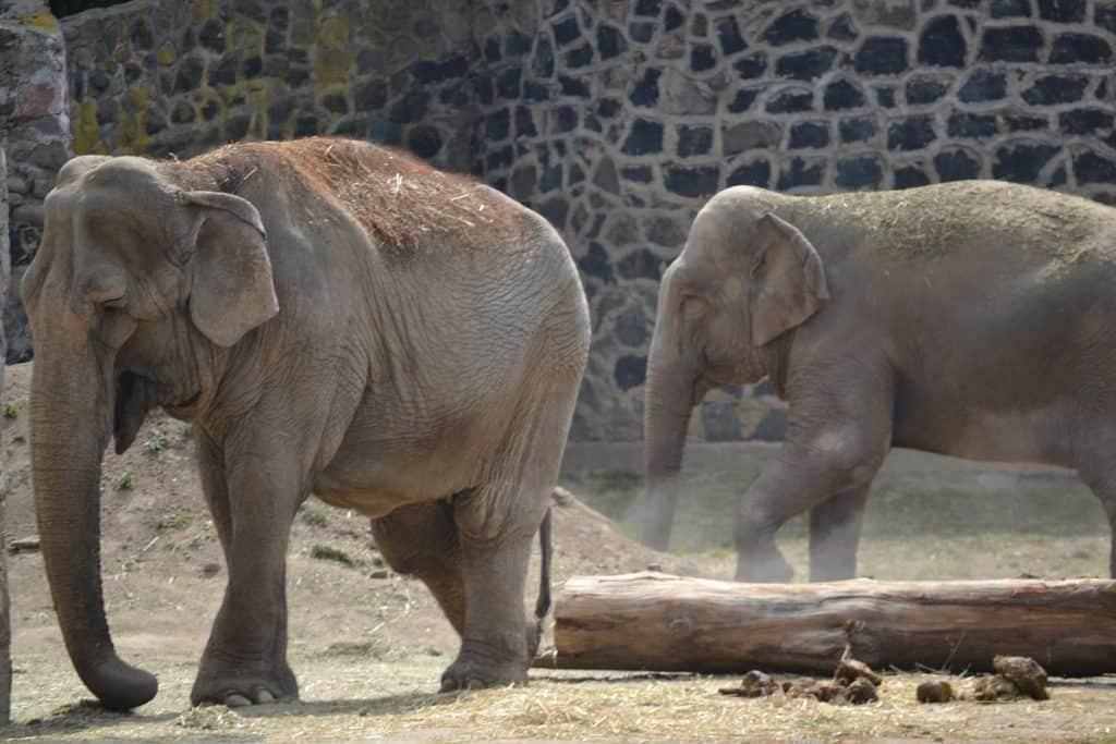 Elefantes asiáticos em cativeiro
