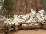 Saiba por que envolveram a maior árvore do mundo em papel alumínio