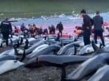 Grindadráp: caçada de baleias na Europa é legal e defendida pelo governo; entenda