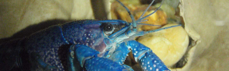 Lagosta azul em um aquário