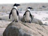 Las abejas pueden haber matado a pingüinos en peligro de extinción