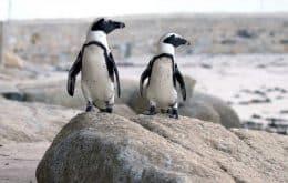 Abelhas podem ter matado pinguins ameaçados de extinção