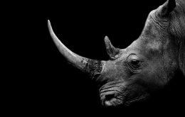 """Los cuernos radiactivos podrían ser un """"arma"""" contra la caza furtiva de rinocerontes en Sudáfrica"""
