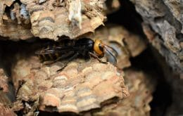 Nest with 1.500 killer wasps destroyed in the United States