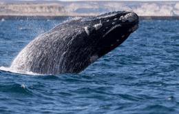 Aquecimento do Oceano Atlântico vai levar baleias francas à extinção