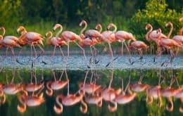 Não é um vídeo da Pixar: veja flamingos se alimentando debaixo d'água