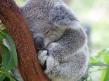 Ações humanas fazem Austrália perder 30% de seus coalas nos últimos três anos