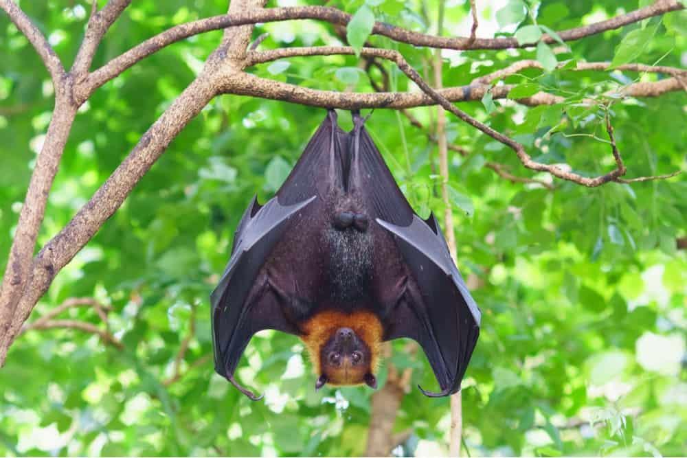 Imagem mostra um morcego de cabeça para baixo. Alterações físicas nesse e em outros animais foram identificadas em estudo sobre o aquecimento global