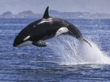 Vovó orca desaparece e coloca seu clã em risco