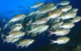 Status de Área Marinha Protegida pode quadruplicar populações de peixes