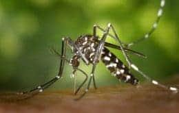 Aedes aegypti modificado ajuda a reduzir casos de dengue