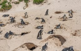 63 pinguins morrem na África do Sul após ataque de abelhas