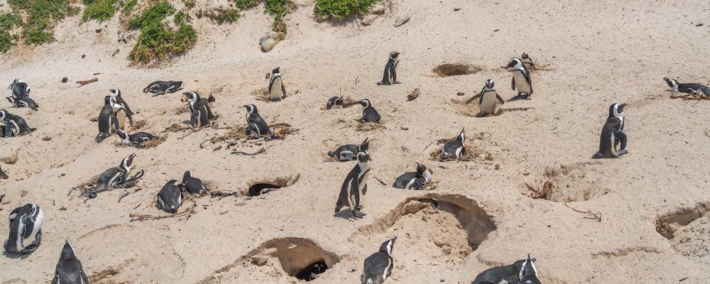 pinguim sul africano
