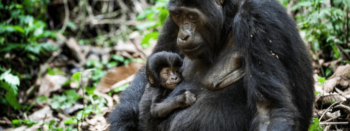 Gorila com um filhote ao colo
