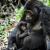 Estudo: mães primatas manifestam luto por filhotes perdidos