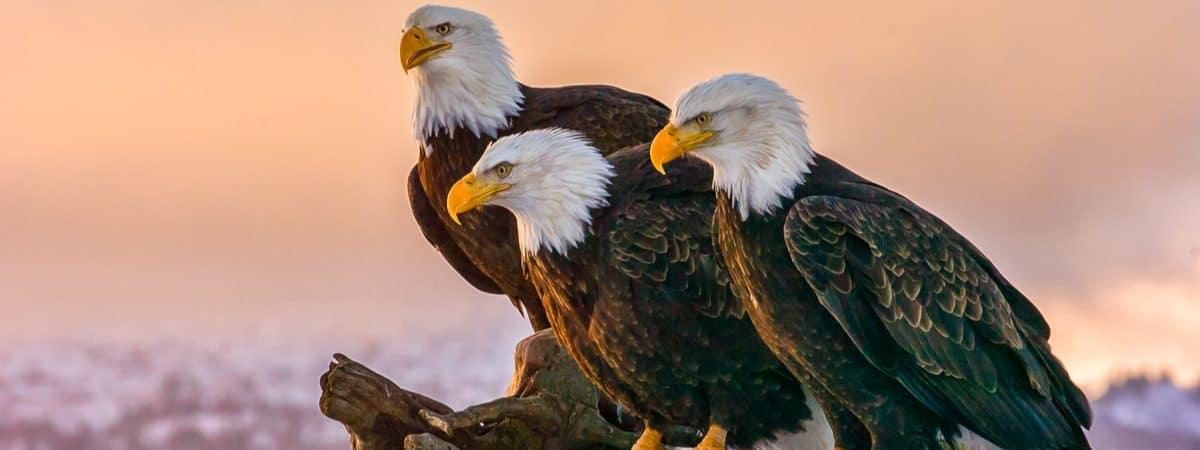 Três águias-de-cabeça-branca estão apoiadas em um tronco