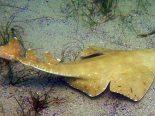 Veja vídeo de um raro tubarão-anjo se alimentando após capturar presa em armadilha