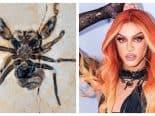 """""""Yukê""""? Fruto de exportação ilegal, fóssil de aranha que homenageia Pabllo Vittar volta ao Brasil"""