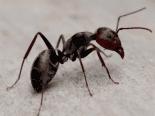 Cérebro humano diminuiu, e formigas ajudam a entender o motivo