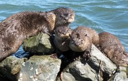 Group of otters is attacking people and dogs in Alaska