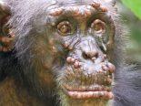 Lepra é encontrada pela primeira vez em chimpanzés selvagens