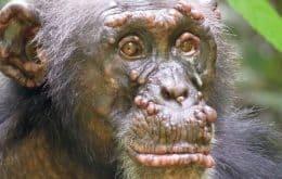 La lepra se encuentra por primera vez en chimpancés salvajes