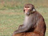 Pesquisa com macacos pode criar vacina contra esquistossomose