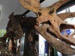 Leilão do maior fóssil de tricerátops já encontrado fecha em US$ 7,7 milhões