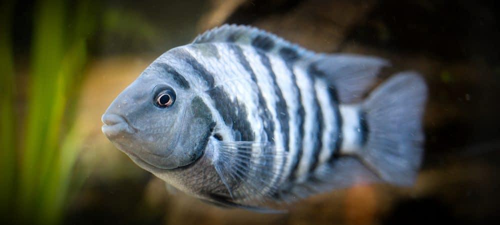 peixe-zebra-1000x450