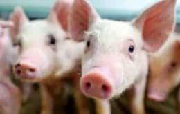 Pesquisadores da USP planejam 1° transplante de rim de porco para humano no Brasil