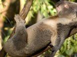 Austrália está perto de vacinar ursos coalas contra clamídia